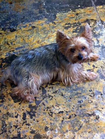 Yogi: Silky Terrier RIP